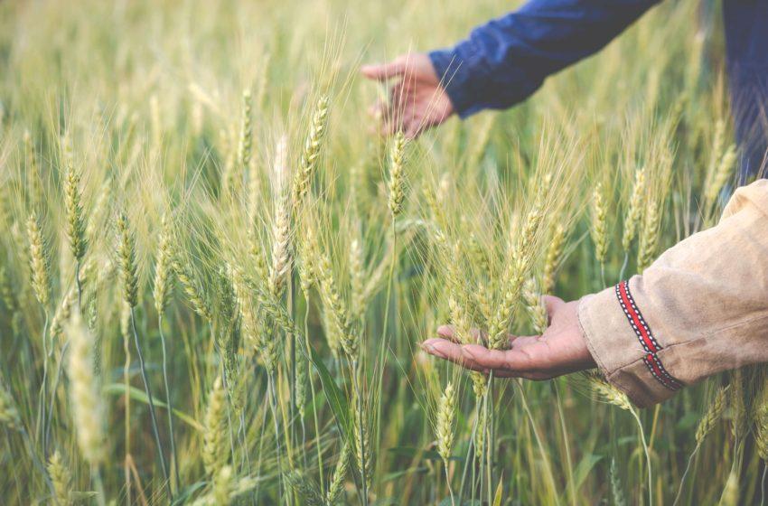 Fermierii afectati de seceta vor fi despagubiti