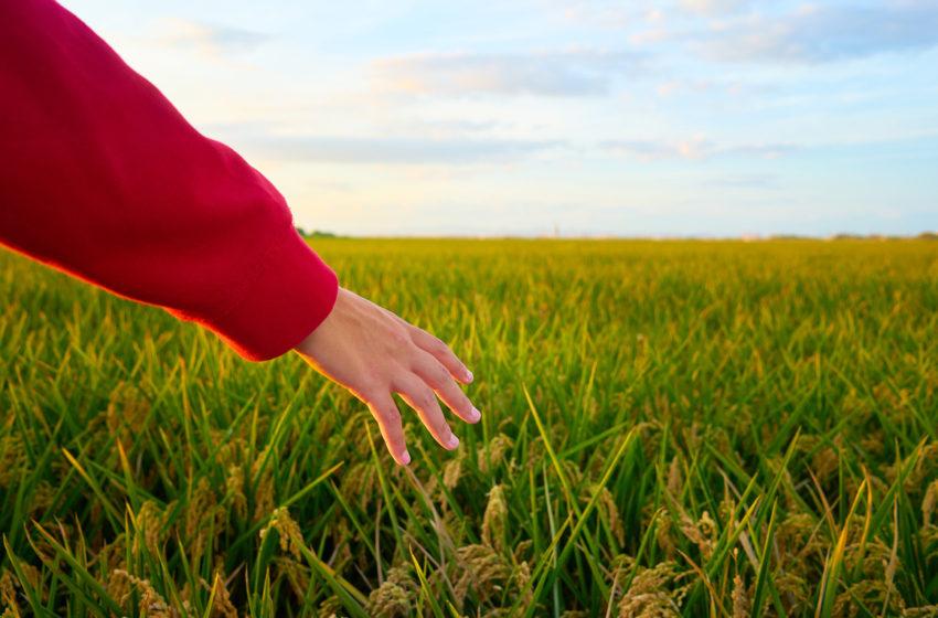 Productia nationala de cereale a scazut in 2020